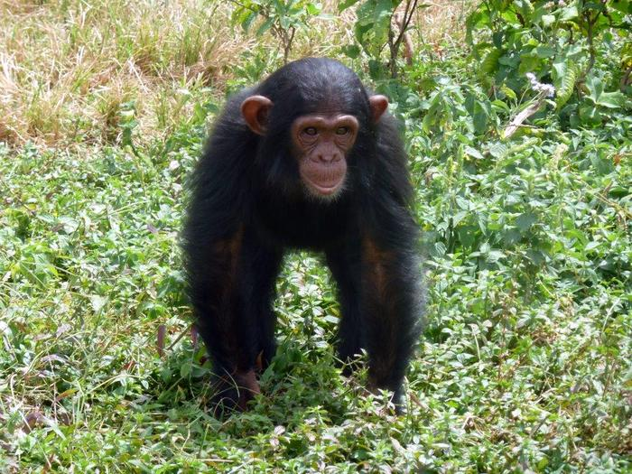 Uganda Delight Chimps