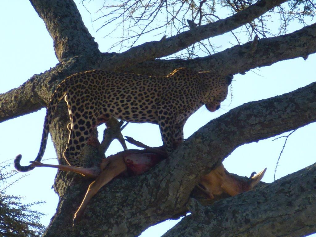 Leopard with a kill on Home in Bush