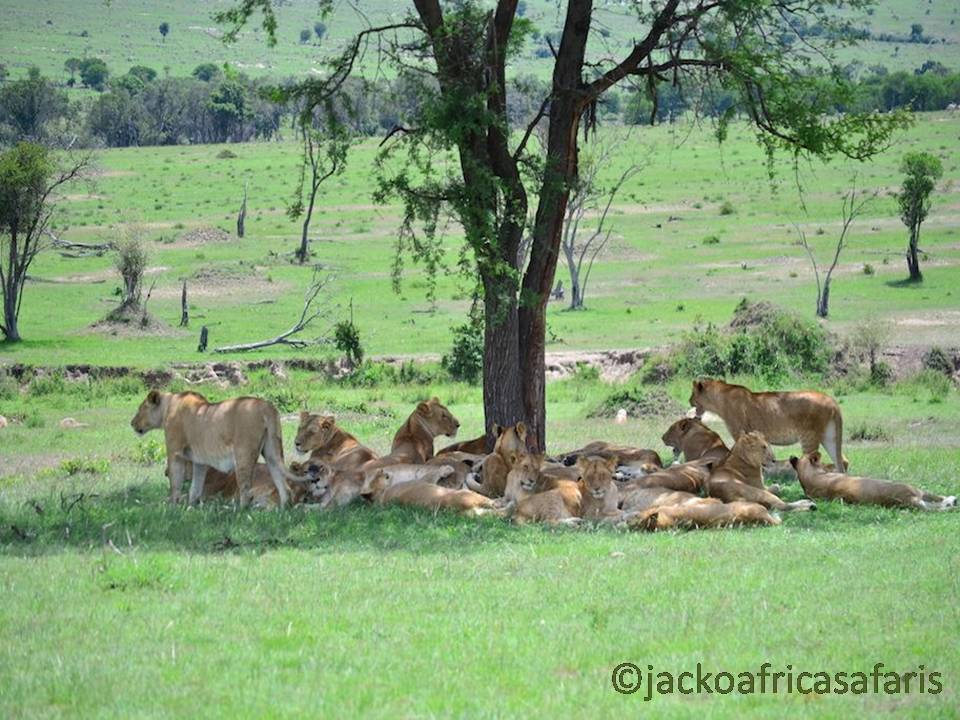 Many lions - though it's a fair long time to the Great Wildebeests Migration 2017