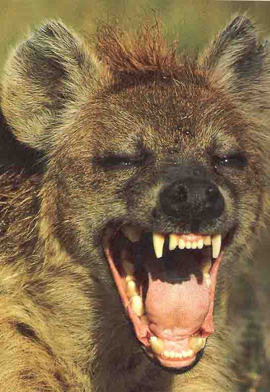 http://jackoafricasafaris.com/images/Hyena%20Laugh.jpg
