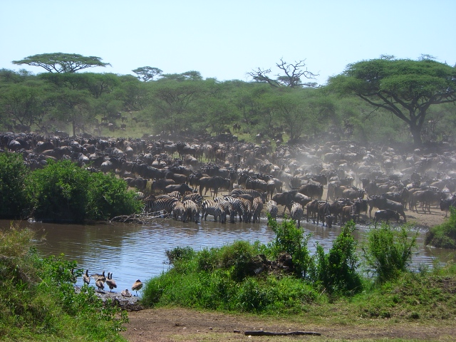 The Great Wildebeest Migration!