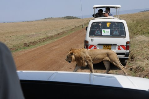 A Male Lion putting us in our place!